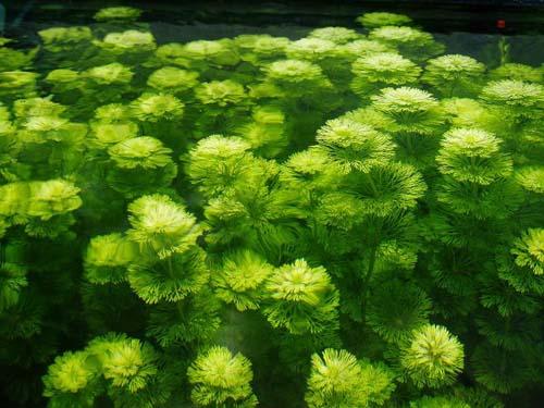 Peces y plantas ornamentales limnophyla sessiliflora for Acuarios ornamentales
