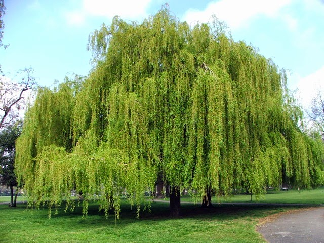 Trees Planet: Salix babylonica - Babylon Willow - Weeping Willow