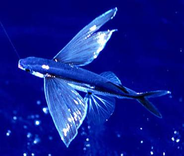 Amazing flying fish Video