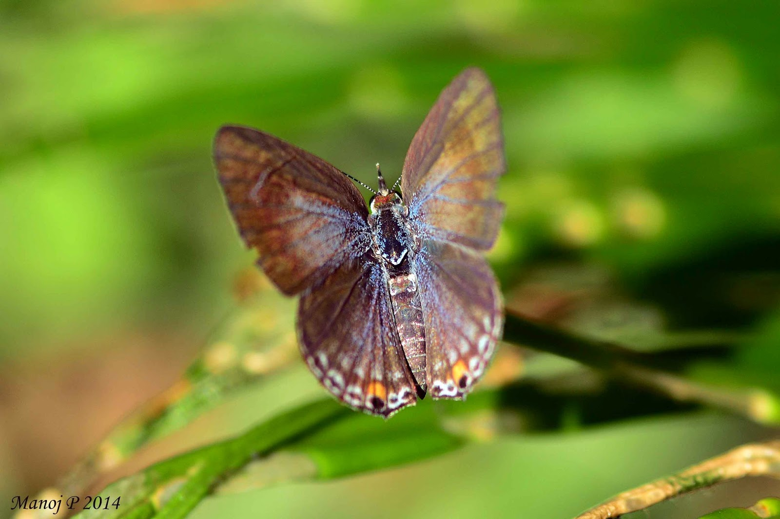 Plains Cupid - Chilades pandava