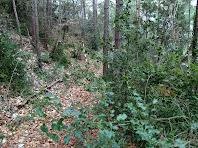 Corriols encatifats de fulles i envoltats de pins rojalets