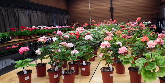 blooming pelargoniums at the 2011 Plant Sale of Canadian Geranium and Pelargonium Society