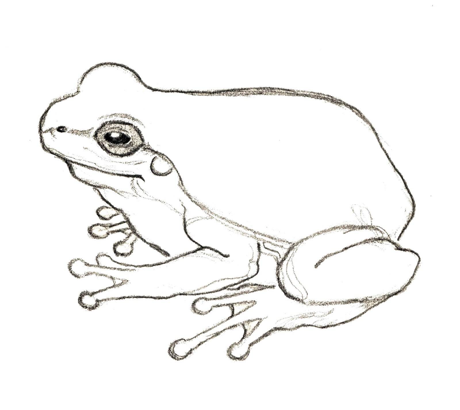 Line Drawing Frog : Rampant eclecticism drawings frog