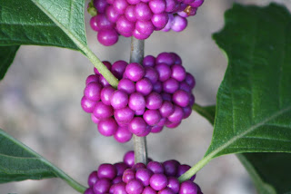 American Beautyberry- Vivero Growers Nursery