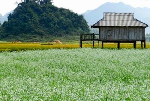 Kinh nghiệm du lịch Mộc Châu mùa hoa cải.