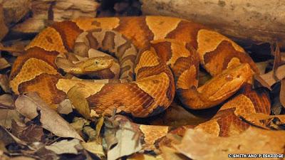 Cobras virgens se reproduzem e intrigam cientistas Cobra2