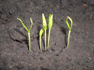 8 февраля, ростки перца - утро