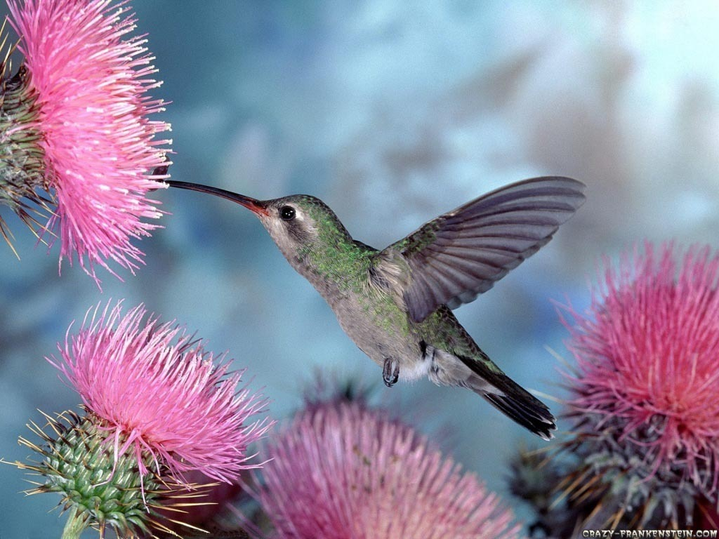 Humming Bird Wallpaper Hummingbirds 9725047 1024 768
