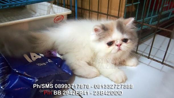 Hamster Dan Kucing Persia Murah Surabaya Kucing Pesek