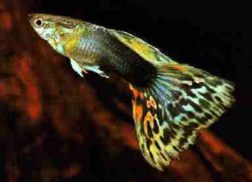Acqua tropical i pesci tropicali for Comprare pesci