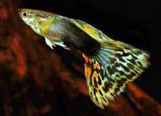Acqua tropical i pesci tropicali for Pesci acqua dolce commestibili