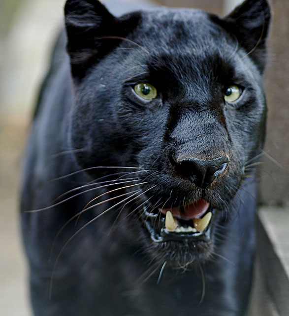 Gallery For > Black Panther Face Growling Panther Face