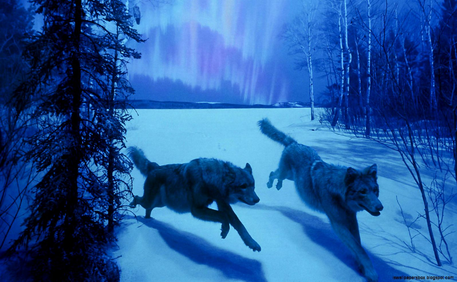 Animal Wallpaper White Wolf Background Hd Wallpapers