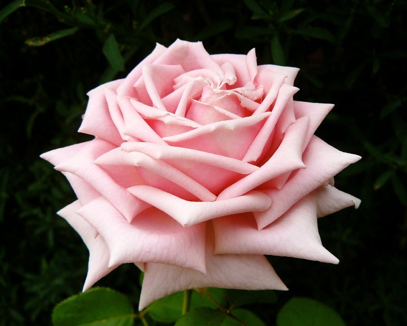 flowerpedia intoxicating fragranced roses frederic mistral. Black Bedroom Furniture Sets. Home Design Ideas