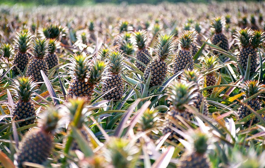 Do You Know What Your Favorite Foods Look Like While Growing - Pineapples Sprout from the top of planted pineapple tops and will regrow again and again