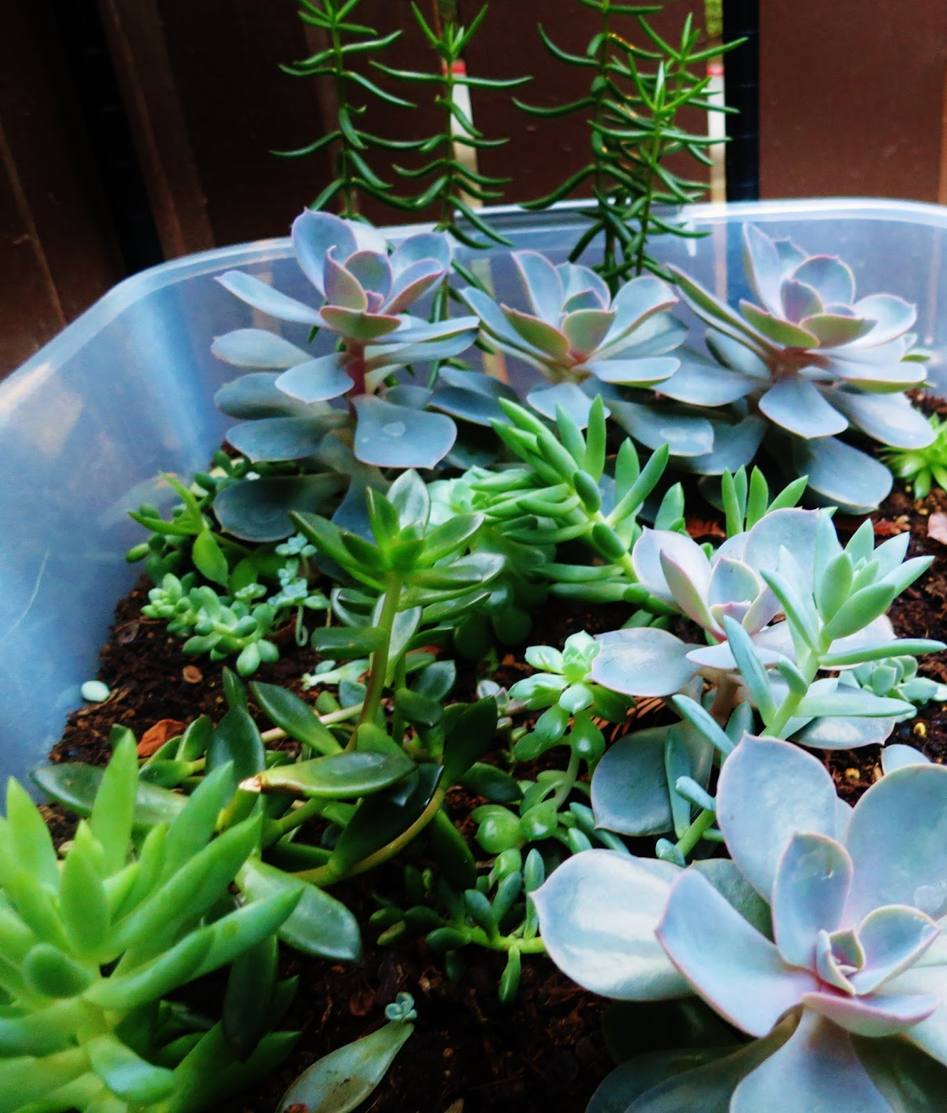 how to grow succulents in water