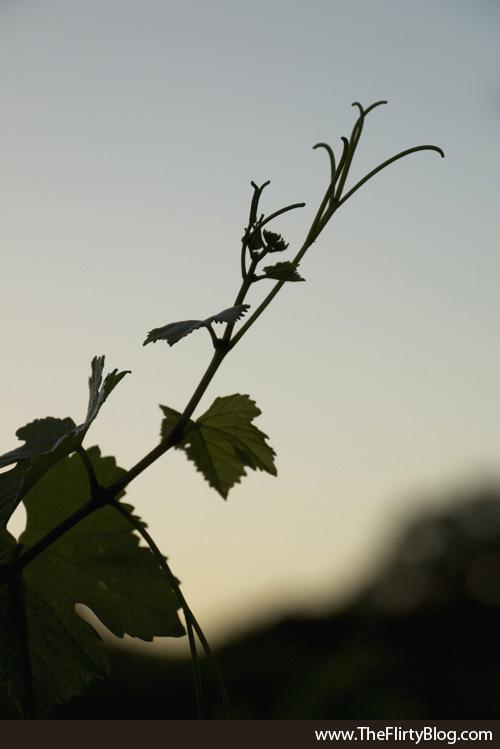 Sunset, Baker Ridge, Grape Vine