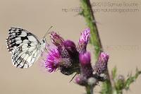papillon de jour papillon échiquier grand papillon photo dans les prés fleuris