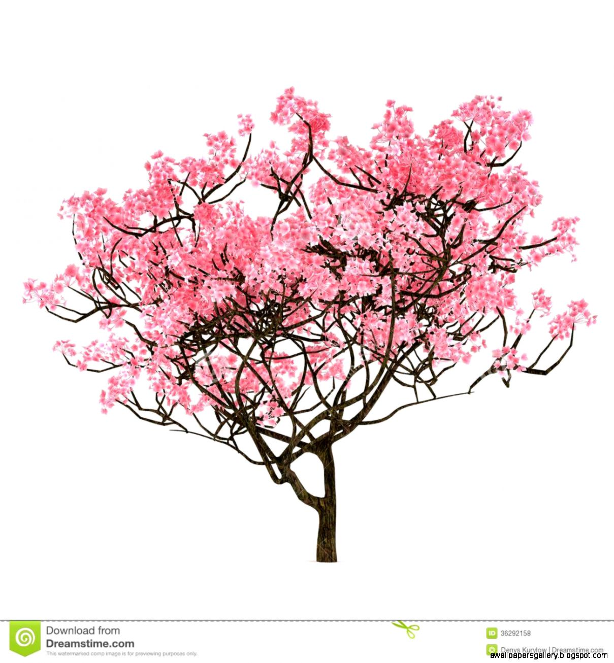 cherry blossom tree drawing step by step wallpapers gallery