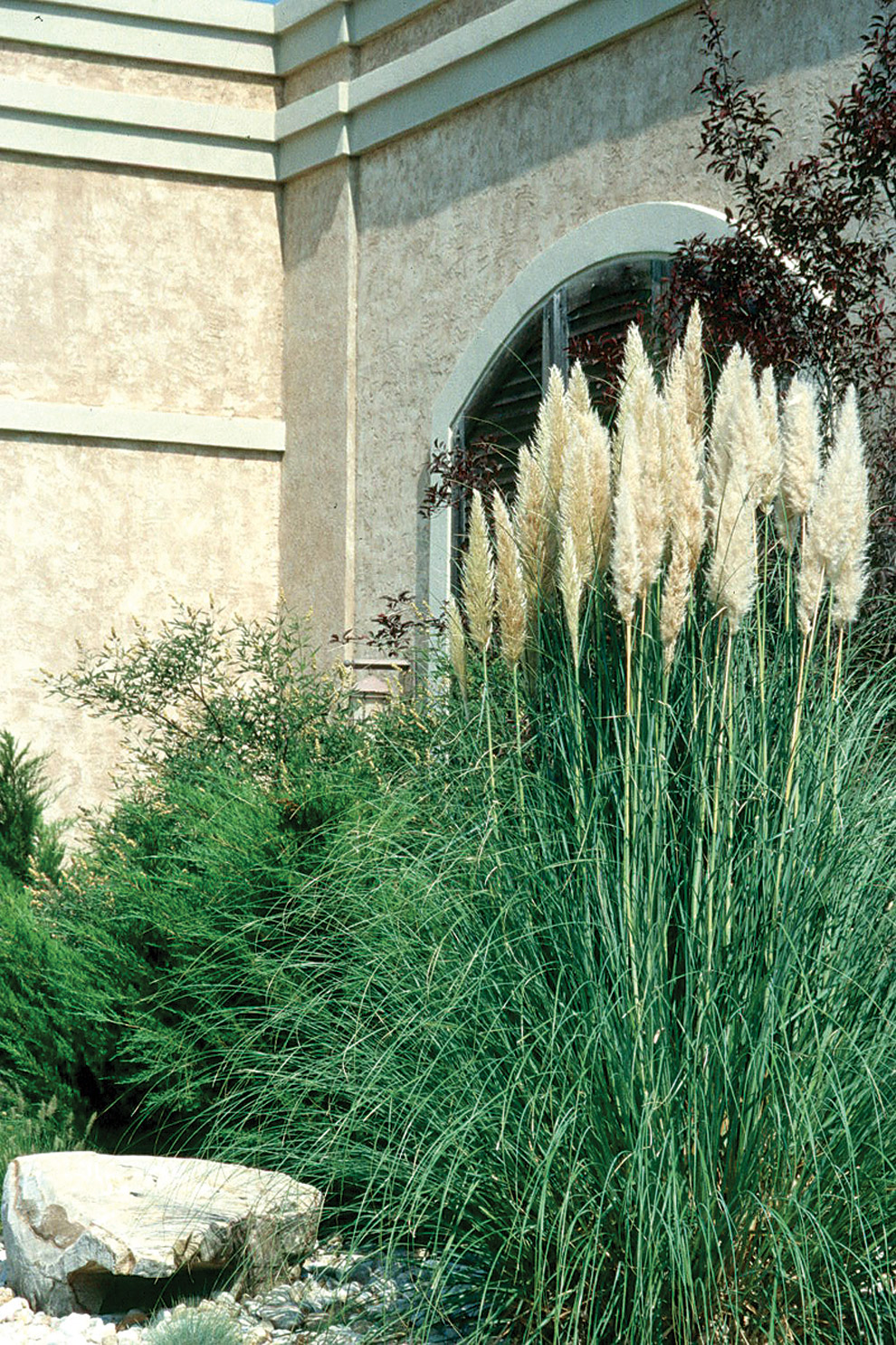 Home and garden cortaderia selloana for Landscaping ideas with pampas grass