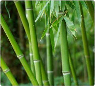 Khasiat Bambu Yang Perlu di Ketahui
