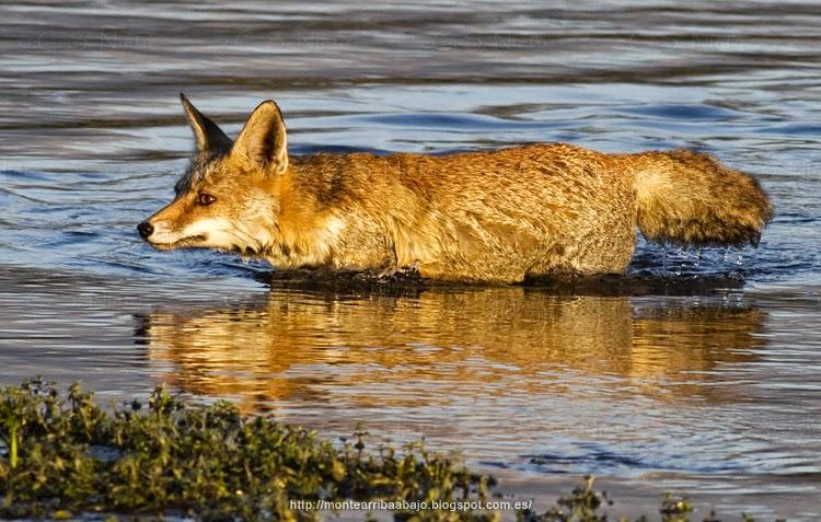Zorro común cruzando a nado el río Tietar