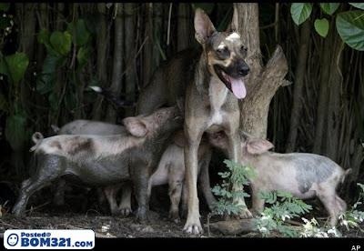 Anjing Menjadi Ibu Kepada Babi