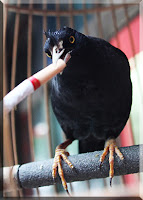 china mynah bird smoking cigarette addicted smoke butt