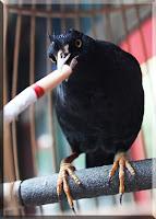china mynah bird smoking cigarette addicted smoke butt