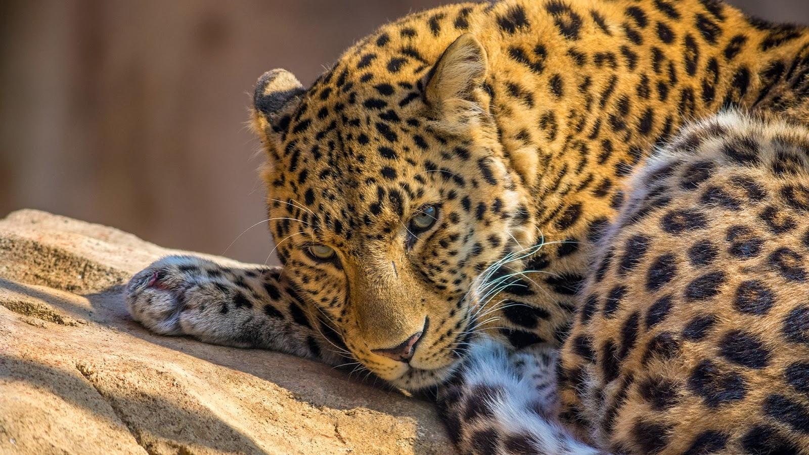 zoo leopard