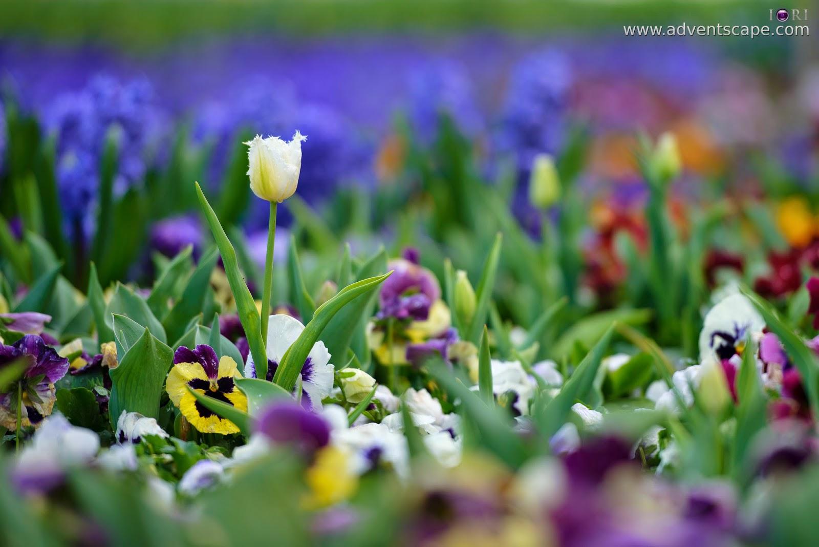 Philip Avellana, iori, advenscape, Floriade, 2014, spring festival, Canberra, ACT, Australian Capital Territory, park, flowers, blossom, alone