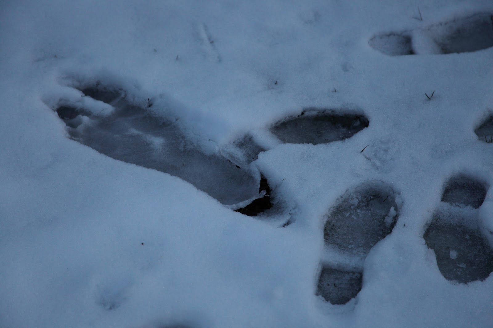 Image result for images of BigFoot tracks in the snow