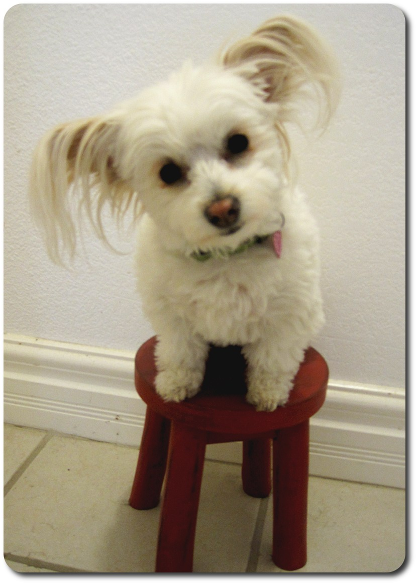 Bonnin Designs Red Stool White Dog