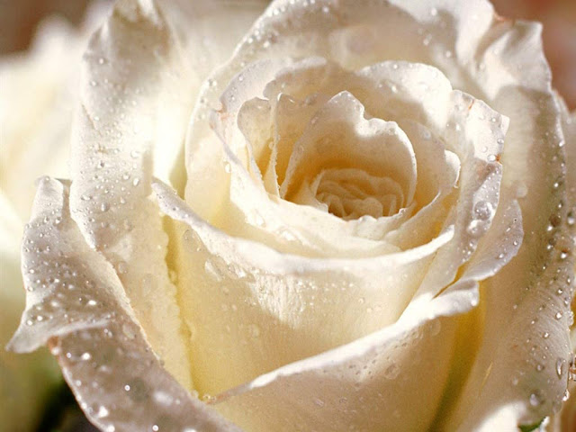 http://3.bp.blogspot.com/-FTIms9uFdXE/TfRzJOVknzI/AAAAAAAAA8o/H1nCnskKVu4/s640/flower_-_white_rose_for_you.jpg