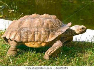 tortuga gigante de Aldabra Geochelone gigantea