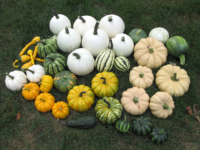 Harvested from Pumpkin Patch #2