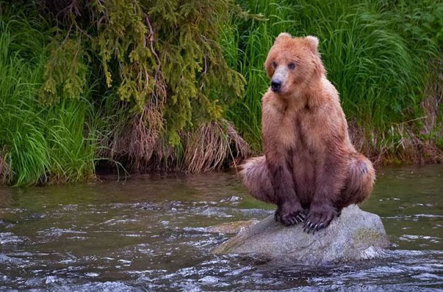 funny animal pictures, bear sitting on rock