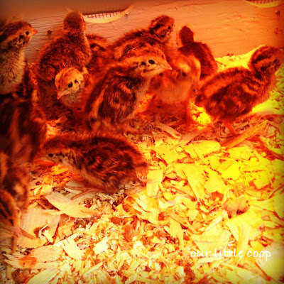 1 week old Coturnix quail chicks in brooder