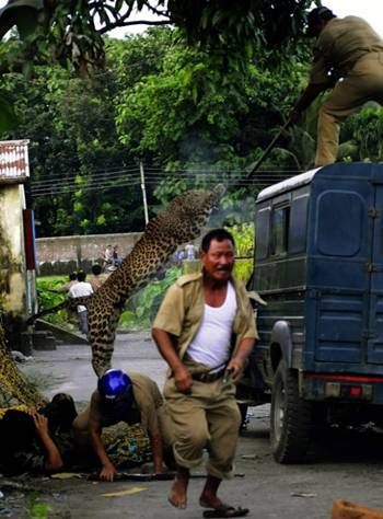 Macan Tutul Ini Mengamuk Ingin di Gendong Petugas Departemen Kehutanan