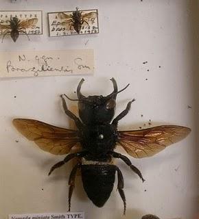 Lebah Terbesar Di Dunia