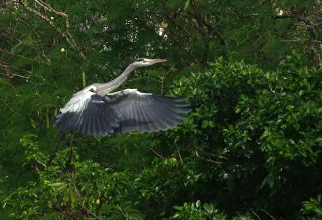 Grey Heron, bird, flying