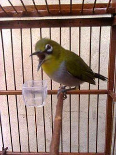 Burung Pleci-Cara Merawat Burung Pleci Agar Cepat Lasrol, Buka Paruh Dan Perawatan Sederhana Untuk Pleci-Rawatan Pleci Agar Cepat Buka Paruh-Rawatan Harian Pleci Cepat Lasrol (Ngalas Ngerol-Berikut Adalah Cara Menjinakkan Burung Pleci.  Perawatan Sederhana Untuk Pleci.: Setiap pagi plci di mandikan dengan semprot sprayer halus saja atau sekedar basah tidak sampai basah kuyup, karena pleci akan mandi sendiri di cepuk minum. Jadi ingat berikan cepuk yang ukuran agak besar supaya dia berendam, kalu cepukk yang ukuran kecil seringkali burung terjepit tidak bisa keluar dan mati. Periksa makananya, ganti minumnya. Sesekali berikan kroto sedikit saja tidak perlu banyak-banyak secukupnya saja dan tidak perlu setiap hari seminggu 2 atau 3 kali saja. Bersihkan kandang Burung pleci yang telah di angin-anginkan biasanya di jemur dr jam 10-11 siang(tergantung cuaca)  Setelah di angin-anginkan ditempat teduh, kita ambil burung pleci dan krodong dan bisa mulai kita masteri   Rawatan Pleci Agar Cepat Buka Paruh Pilihlah jenis pleci  yang berkelamin jantan karena hanya pleci jantan yang bisa ke tahapan buka paruh. Baca artikel Cara Akurat Membedakan Kemin Pleci Usahakan mempunyai beberapa jenis pleci yang sama. Lakukanlah pengembunan yang rutin, saat  pengembunan usahakan pleci tidak saling lihat agar pleci tersebut saling sahut menyahut Jika matahari sudah terbit pleci tersebut bisa dikoloni lagi sambil dimandikan  Berikan buah-buahan bervariasi agar pleci mendapatkan vitamin yang cukup dalam kandungan buah Berikan EF berupa UH sebanyak 3 - 5 buah dan kroto setiap 3 kali dalam seminggu Jemur hingga pukul 9 saja karena lewat jam tersebut terik matahari bisa merusak bulu burung dan juga bisa membuat burung mati karena kepanasan Setelah dijemur burung bisa dikoloni lagi atau dipisah untuk memancing suara ngalas sampai buka paruh Jika mempunyai pleci betina bisa digunakan untuk cas agar cepat ngalas  Rawatan Harian Pleci Cepat Lasrol (Ngalas Ngerol)  Saat fajar tiba , keluarkan burung 