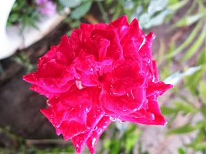 A vida como uma rosa