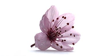 blodblomme-blomst