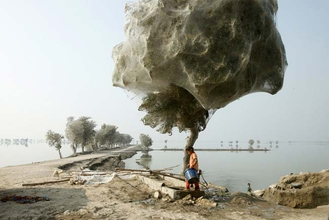 Spiderweb, Pakistán, árboles, telarañas, capullos