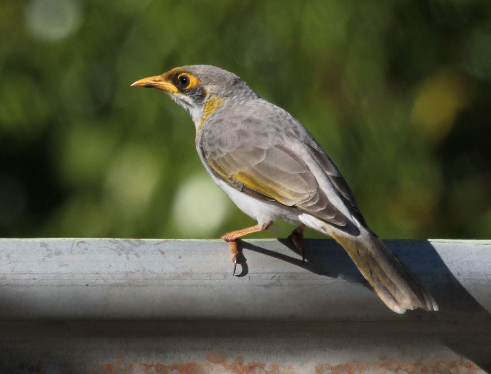 New Gibraltar Encyclopedia of Progressive Rock AR-AZ Australian miner bird photos