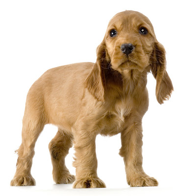 Cocker Spaniel Puppy Picture