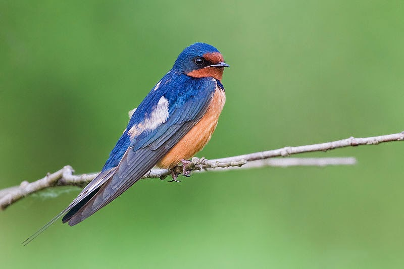 North American Swallows facing extinction