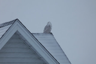 Snowy Owl #4