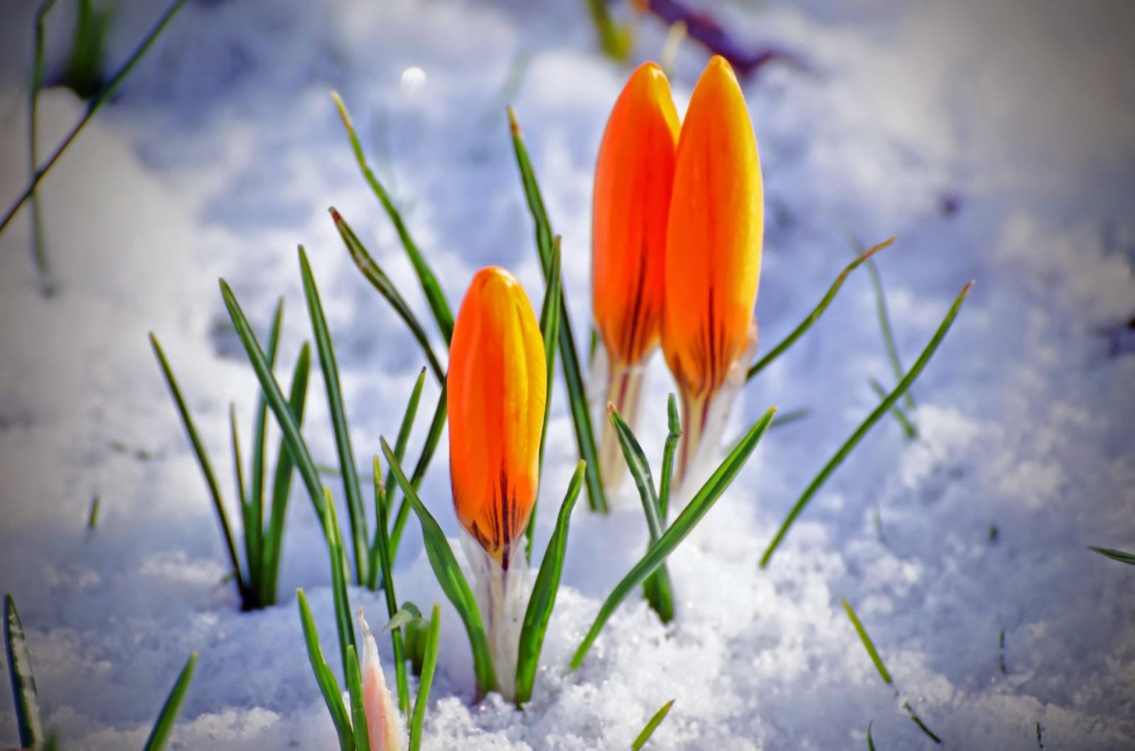 Saffron Benefits In Urdu Zafran Beauty Tips In Urdu Saffron Ke Faide For Skin